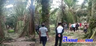 Ratusan Warga Nagori Mariah Jambi Merusak Tanaman PTPN 4