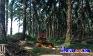 Program PSR Sawit Riau 2021 Jauh Dari Capaian Tagret, Disbun Riau Salahkan SDM