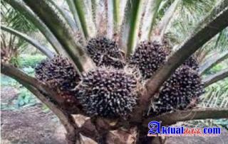 Minyak CPO Indonesia Diprediksi Akan Hancur Pada Tahun 2021