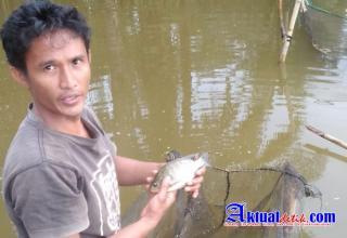 Usaha Budidaya Ikan di Tapung Hulu Merugi, Diduga Dampak Pekerjaan PT Vira Jaya
