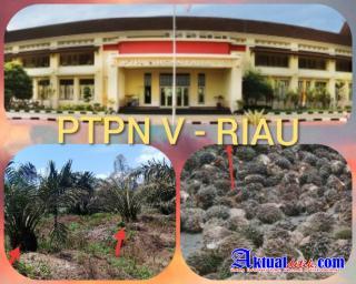 Kebun Inti PTPN V PKS Sei Garo Tidak Terawat, Ketua LSM Perkara Pertanyakan